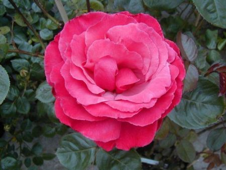 Climbing Rose Galway Bay in a 3.5 litre Pot