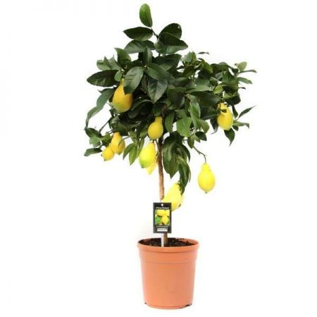 Standard Lemon Tree.  stands 85cm tall. Citronella Vulcan Lemon Citrus
