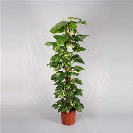 Scindapsus Devils Ivy house plant with trelli or poles. 120cm tall approx
