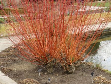 Salix alba var.vittelina Britzensis willow tree in a 12 Litre container