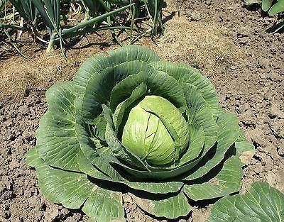 Cabbage Round Plants 6 Pack of Garden Ready Plants Grow your own