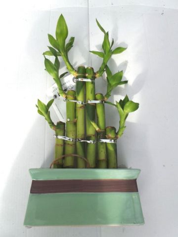 Lucky Bamboo Steps in a Green ceramic pot. Indoor House plant, bonsai for Feng Shui. Green