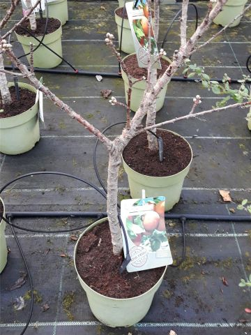 Prunus nucipersica patio nectarine tree in 20cm pot