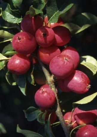 Malus Pink Glow Crab apple tree in a 11.5 Litre Pot (Patio)