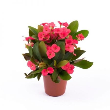 Euphorbia milii Red succulent house plant in a 5cm pot Crown of Thorns