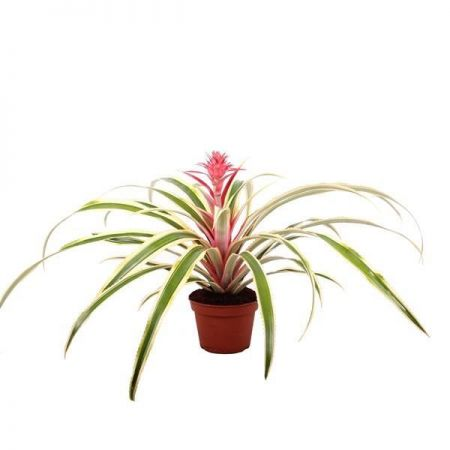 Pineapple house plant with variegated leaves in 15cm pot. Ananas comosus