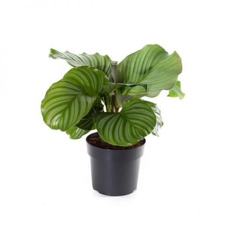 Calathea orbifolia house plant in 17cm pot Peacock plant