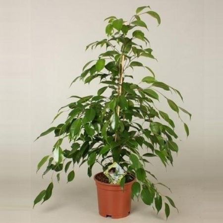 Ficus benjamina Danita house plant in 17cm pot. 75cm tall. Weeping fig tree.
