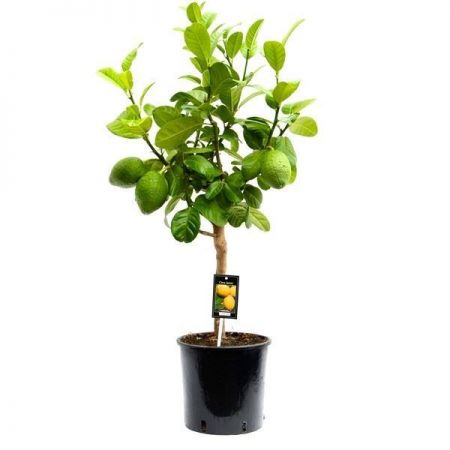 Citrus GRAPEFRUIT tree house plant around 85cm tall in 22cm pot