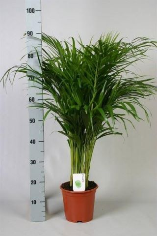 Areca Palm Tree House Plant.  Butterfly Palm.  Dypsis Lutescens 90-110cm tall approx