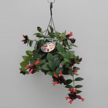 Aeschynanthus Mona Lisa Red house plant in 15cm hanging pot.  Lipstick plant