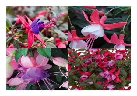 Fuchsia Bella® Collection of Upright plants in a 10cm pot x 3