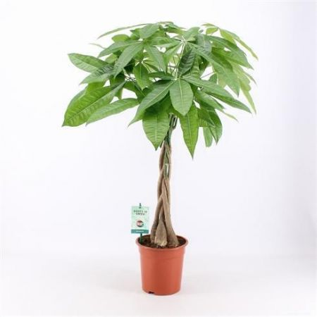 Pachira aquatica plant with a plaited stem. Guiana Chestnut Tree 80cm tall