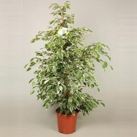 Ficus benjamina. Twilight house plant. 100cm tall. Weeping fig tree