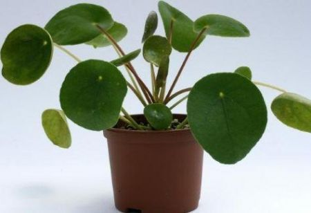 Pilea peperomioides house plant in 13cm pot.  Chinese money plant