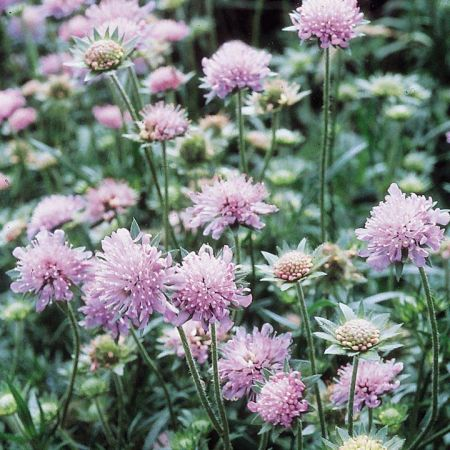 Wildflower Field Scabious Seeds - 2.5g packet