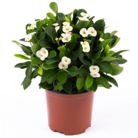 Euphorbia milii WHITE succulent house plant in a 5cm pot Crown of Thorns unusual houseplant