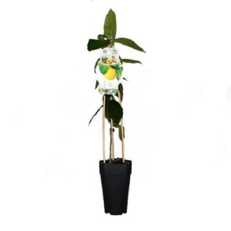 Lemon Tree Citrus  in a 15cm Pot.  65cm in height.