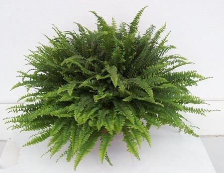 Nephrolepis exaltata Green Lady house plant.  Indoor fern in 17cm pot