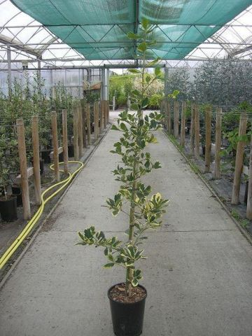ilex x altoclarensis Golden King Holly Tree in a 7 Litre Pot