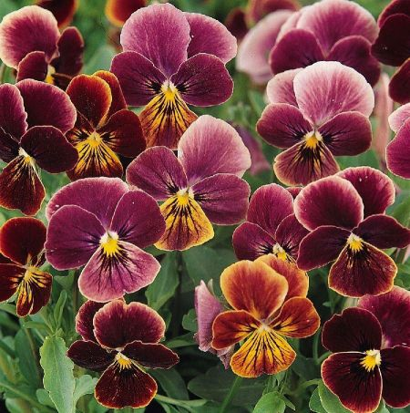 Viola Antique Shades Bedding plant 6 Pack Garden Ready Plants.
