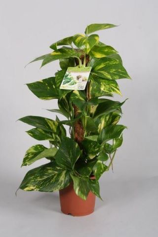 Scindapsus or Devils Ivy house plant with moss stick. 60cm tall approx
