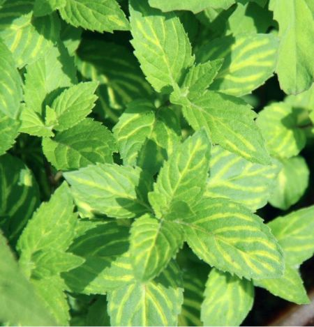 Ginger Mint Herb Plant in a 11cm Pot.