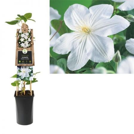 Clematis Madame Le Coultre Climbing plant in 16cm pot