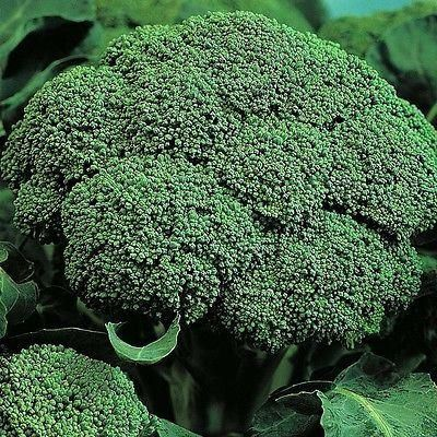 Calabrese (Green Sprouting) 6 Pack of Garden Ready Plants. Grow your own.