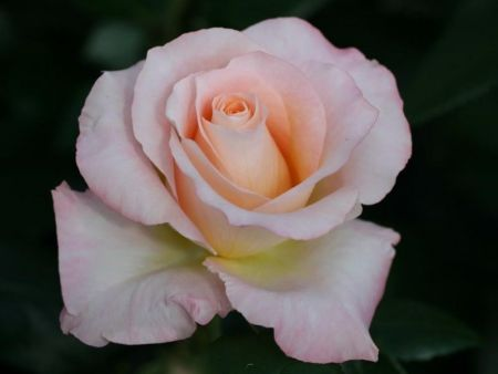 Special Occasion Rose Happy Pearl Wedding in a 3.5 litre pot 30th Anniversary Gift
