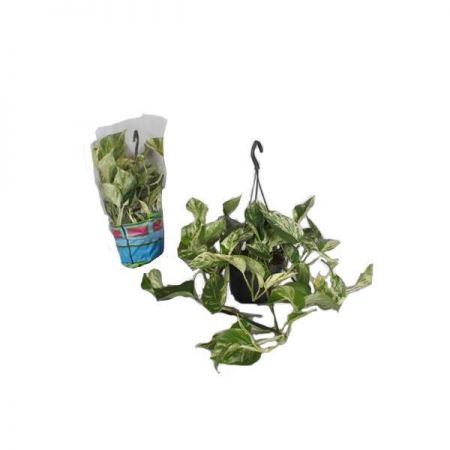 Scindapsus Marble Queen Plant in a 15cm Hanging Pot x 1 Devils Ivy