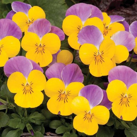 Viola Yellow Pink Wing bedding plant 6 Pack Garden Ready Plants.