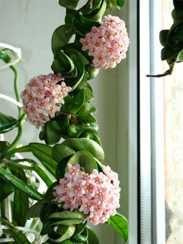 Hoya carnosa Compacta house plant in a 14cm hanging pot.  Wax Flower
