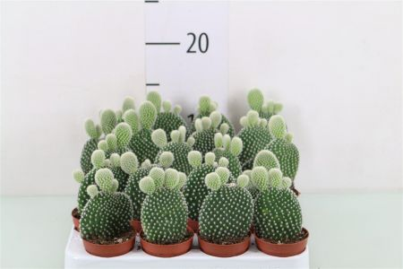 Opuntia microdasys albispina house plant. The bunny ears cactus starter plant