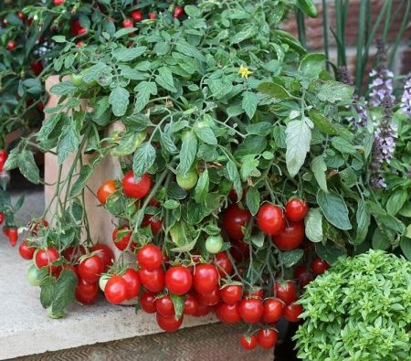 Tomato Cherry Falls Plants in 9cm pot x 3.