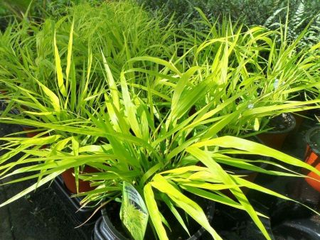 Hakonechloa macra All Gold in a 17cm Pot