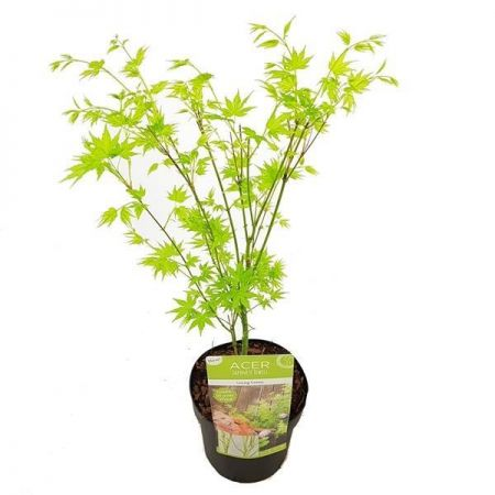 Acer palmatum Going Green small Japanese maple tree in 19cm pot