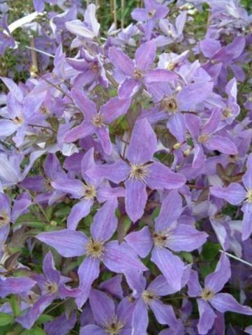 Clematis Viticella Sunny Sky 'Zosusk' PBR & PP Climbing plant in 17cm pot