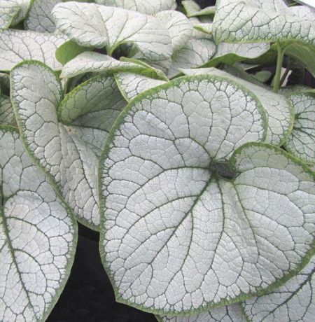 Brunnera Silver Heart Plant in a 19cm Pot.  Plant for Shady Area.
