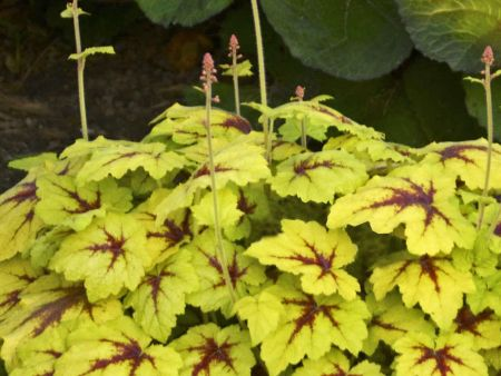 Heucherella Catching Fire perennial groundcover plant in 13cm pot.