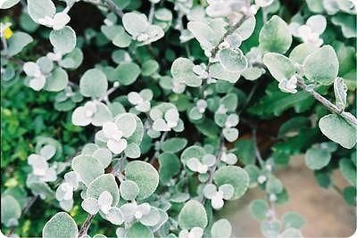 Helichrysum Silver plant in a 9cm pot x 3.   Foliage hanging basket plant