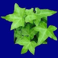 Green English ivy plants, Hedera helix, in an 8.5cm pot.