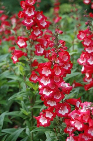 Penstemon Arabesque Red in 13cm pot.  Hardy perennial