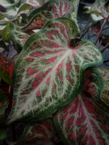 Caladium Red White Green highly unusual house plant in 12cm pot