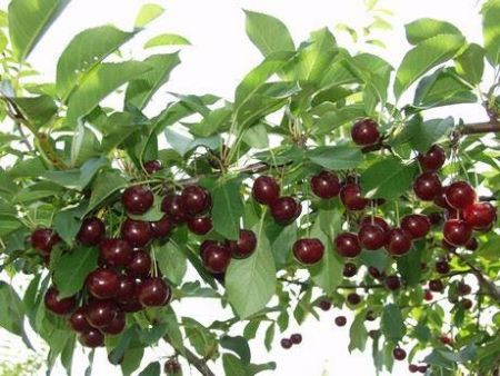 Cherry (Prunus) Athos tree in a 11.5 Litre Patio pot - Rootstock - Own Root