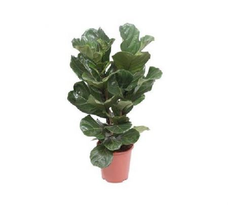Ficus lyrata house plant in 27cm pot.  90-120cm tall. Tall Fiddle leaf fig