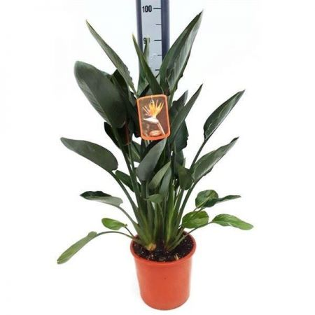 Bird of Paradise Strelitzia reginae house plant in 27cm pot