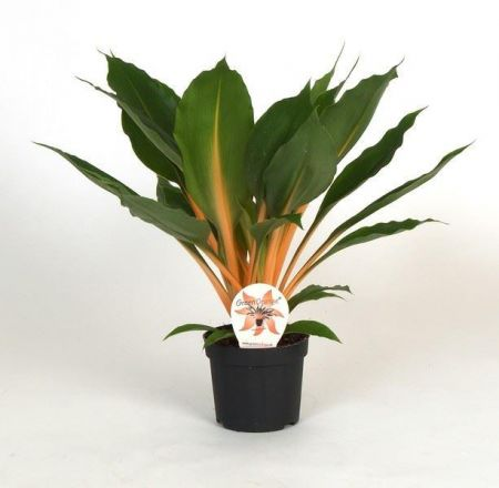 Chlorophytum orchidastrum spider plant in a 12cm pot. Fire Flash