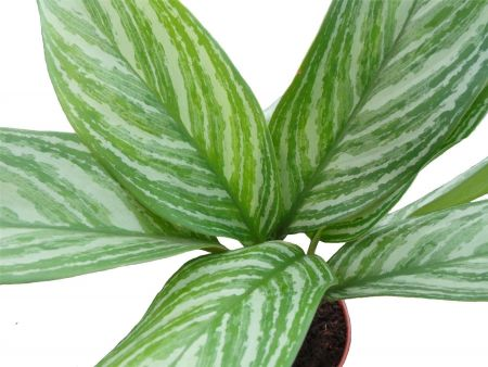 Aglaonema Stripes house plant in 17cm pot. Chinese evergreen