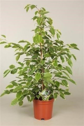 Ficus benjamina. Golden King house plant. 75cm tall. Large weeping fig tree